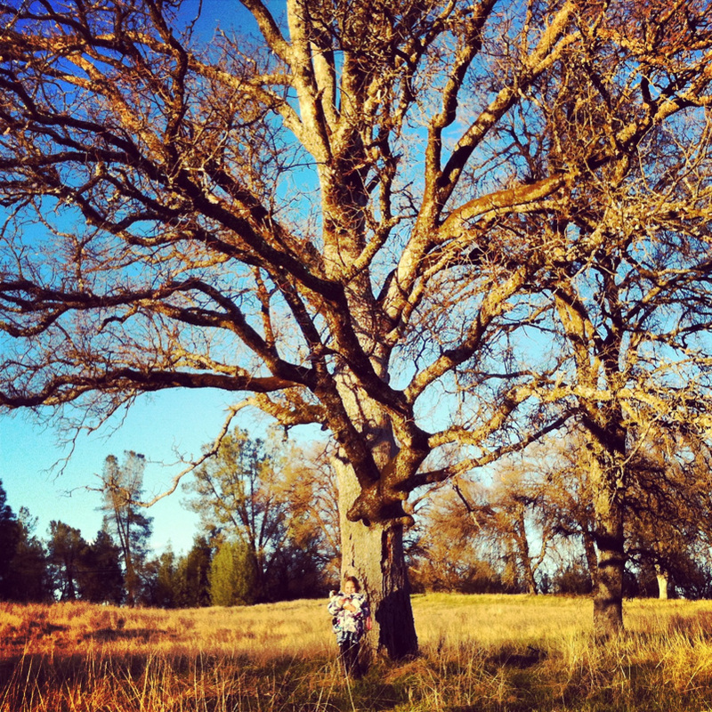 California Oak